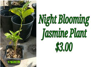 NIGHT blooming jasmine plant - last one for Sale in Hacienda Heights, CA