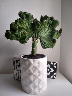 Coral cactus for Sale in Jupiter, FL