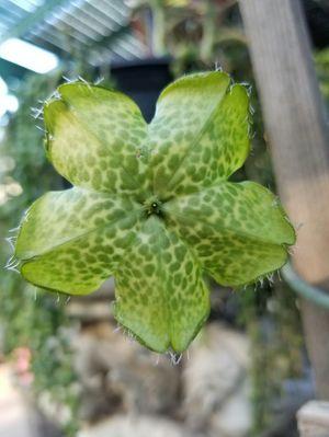 Exotic unique Ceropegia Sandersonii succulent plants for Sale in Moreno Valley, CA
