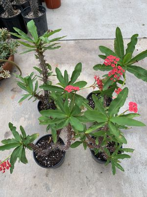 Beautiful crown of thorns plants for Sale in Spring Valley, CA