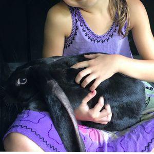 Long eared bunny for Sale in Muncy, PA