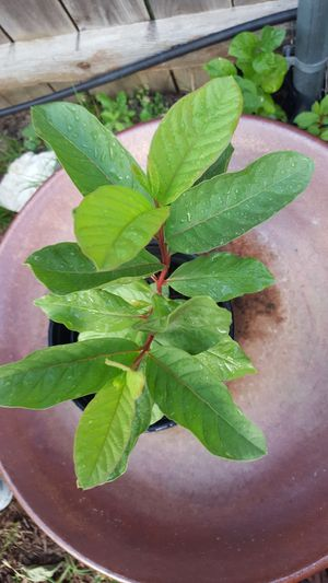 Mexican Guava fruit plant for Sale in US