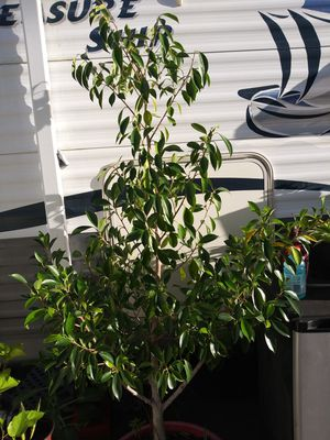 Keeps growing needs more room Can't keep it must go $30.00 for Sale in Auburndale, FL