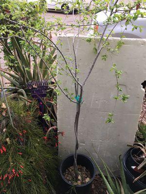Chinense Elms for Sale in Glendale, AZ