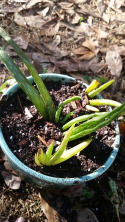 Small Aloe Vera plant arrangment for Sale in Frostproof,  FL