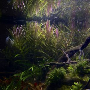 LIMNOPHILA HIPPURIDOIDES - aquarium plant for Sale in Lynnwood, WA