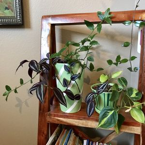 """Tradescantia house plant. Two varieties in one 8""""H pot. for Sale in Mukilteo, WA"""