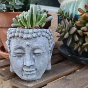"'Baby Toes' succulent - Fenestraria aurantiaca 4"" for Sale in Hemet, CA"
