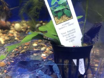 Potted Anubias Nana for Sale in Hialeah,  FL