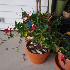 House/garden plant for Sale in St. Louis, MO