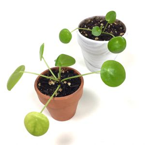 2 Small Chinese Money UFO Pilea Peperomioides House Plants for Sale in Tustin, CA