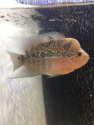 "Female Small Kok Pearly Super Red Dragon 3"" for Sale in Los Osos, CA"