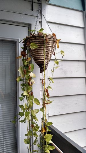 Hanging plant for Sale in Orlando, FL