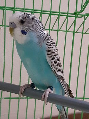 Budgie for sell he love to play and he like to sing and he like to stand on hands for Sale in Lincoln, NE