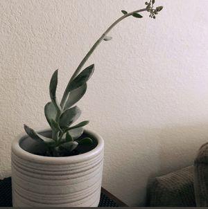Succulent $12 in 6' ceramic pot for Sale in North Las Vegas, NV