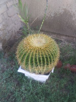 Beautiful golden Barrel approximately 18 in diameter absolutely Flawless $70 for Sale in San Jacinto, CA