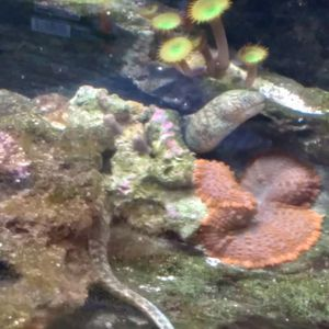 Corals Saltwater for Sale in Aromas, CA