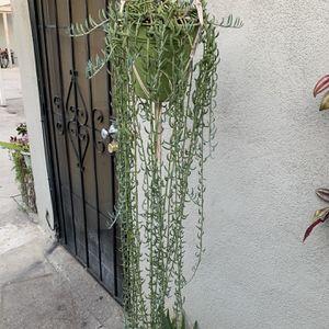 Succulent Xgrande Con Colgadera for Sale in Bell Gardens, CA