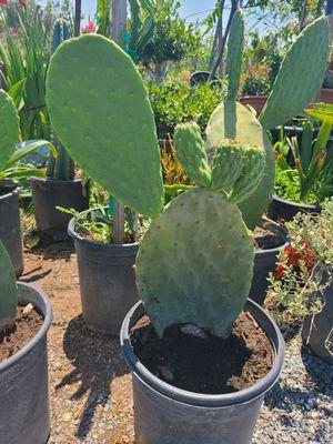 Cactus for Sale in Ontario, CA