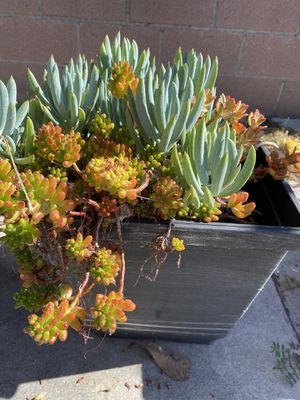 Assorted succulents for Sale in Temple City, CA