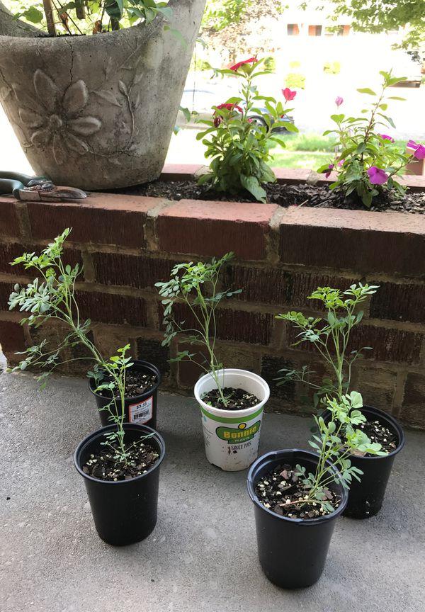 Rouda plant