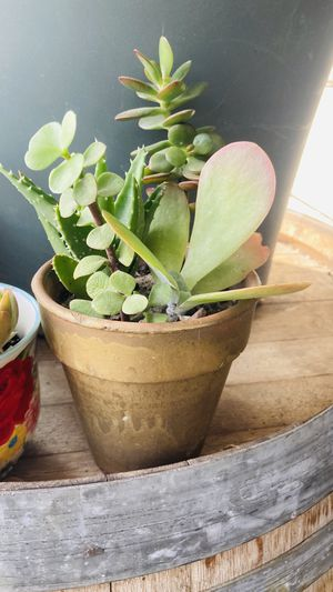 Succulent arrangement in gold pot for Sale in Tracy, CA