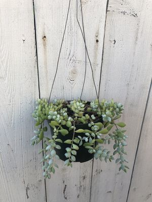 Cotyledon pendens succulent for Sale in Oceanside, CA