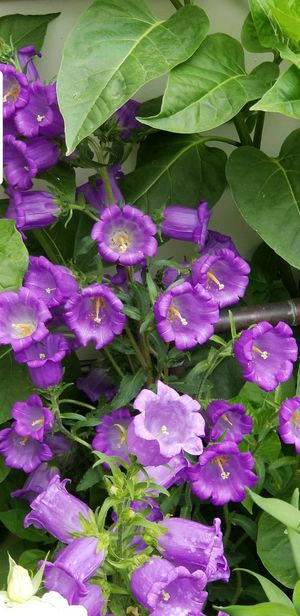 Beautiful perennial Canterbury bells flowers in the big pot for Sale in Aurora, CO