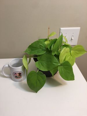 Neon philodendron plant for Sale in Newnan, GA