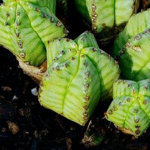 Euphorbia Anoplia Tanzanian Zipper Cactus Succulents for Sale in Fountain Valley, CA