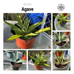 Agave Plants for Sale in Chula Vista, CA