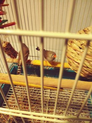 Male n female Finches Bird's For sale for Sale in Durham, NC