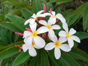 Nice beautiful plumeria at $10 a branch for Sale in Huntington Beach, CA