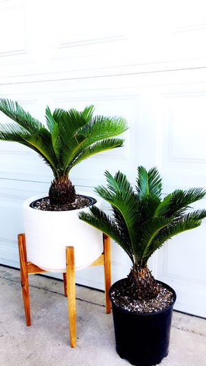 PLANT only - PLANTER IS NOT INCLUDED - SAGO PALM - Short and Solf Leaves - Good for Bonsai or Home Decorative Plant - $20 each for Sale in Garden Grove, CA