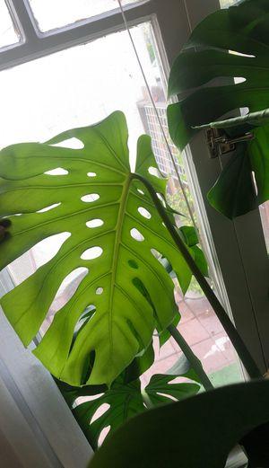 HUGE MONSTERA DELICIOSA in terazzo planter for Sale in Los Angeles, CA