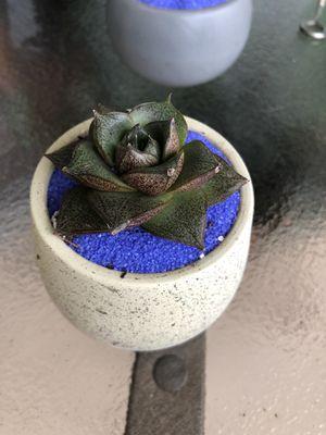 Exotic succulents 🌵 for Sale in Miramar, FL