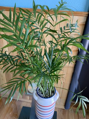 """Healthy ParlorPalm 15"""" tall (plant) for Sale in Lakewood, CO"""