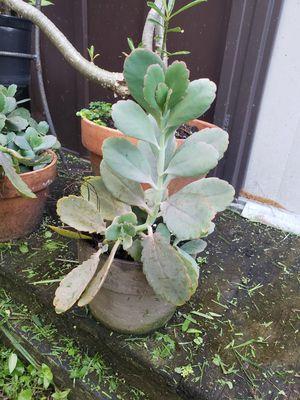 Plant for Sale in Virginia Gardens, FL