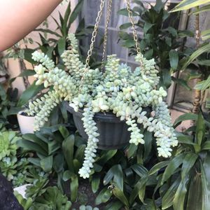 Donkey Tail Succulent Plant in Basket for Sale in Santa Ana, CA