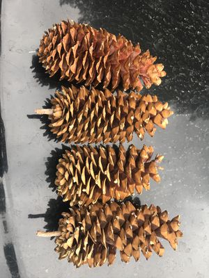 12 inch pine cones for Sale in Bend, OR
