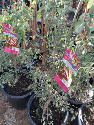 Fruit trees arboles frurales for Sale in Riverside, CA
