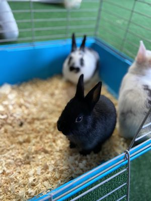Baby bunnies for sale for Sale in Everett, WA