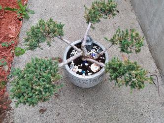 San Jose juniper 5 pom pom in ceramic planter for Sale in Tacoma,  WA