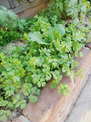 Organic cilantro seeds 100seeds/$1. for Sale in San Lorenzo, CA