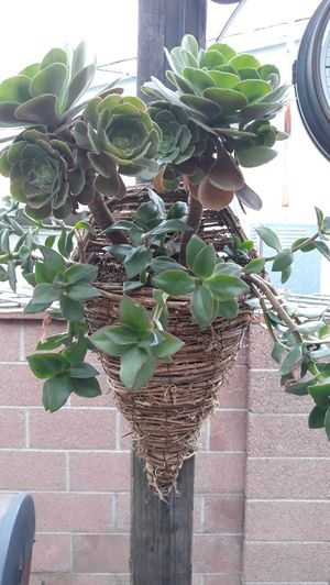 Beautiful Succulent Plants in Woven Wall Hanging for Sale in Long Beach, CA