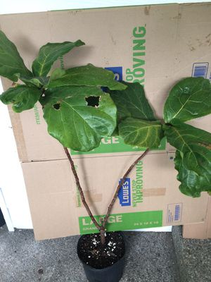 4 foot tall Fiddle Leaf. Live indoor house plants in 2 gallon pot for Sale in Auburn, WA