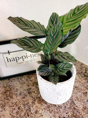 Live Calathea Plant for Sale in Phoenix, AZ
