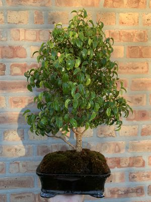 Rare Ficus Too Little Tropical Bonsai for Sale in Lincolnwood, IL
