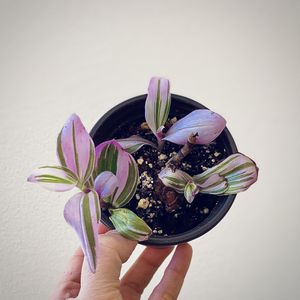 "Tradescantia Nanouk Wondering Jew 3.5"" Plant for Sale in Los Angeles, CA"