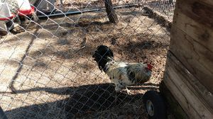 Rooster for free for Sale in Columbia, SC